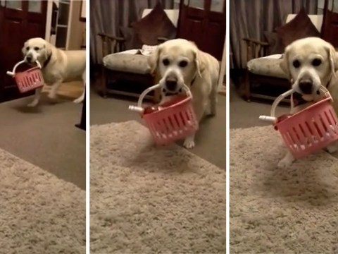 This dog has been trained to deliver wine and we love him