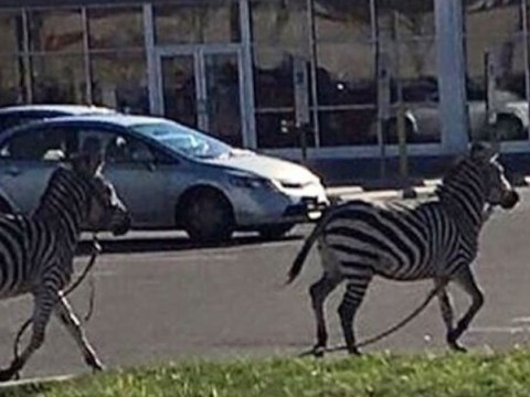 Zebra escape circus and lead Philadelphia police on city-wide chase