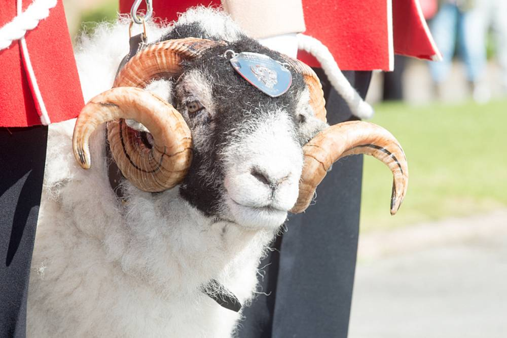 Army mascot sheep dies and everyone's upset