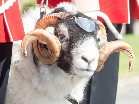 Army mascot sheep dies and everyone's upset