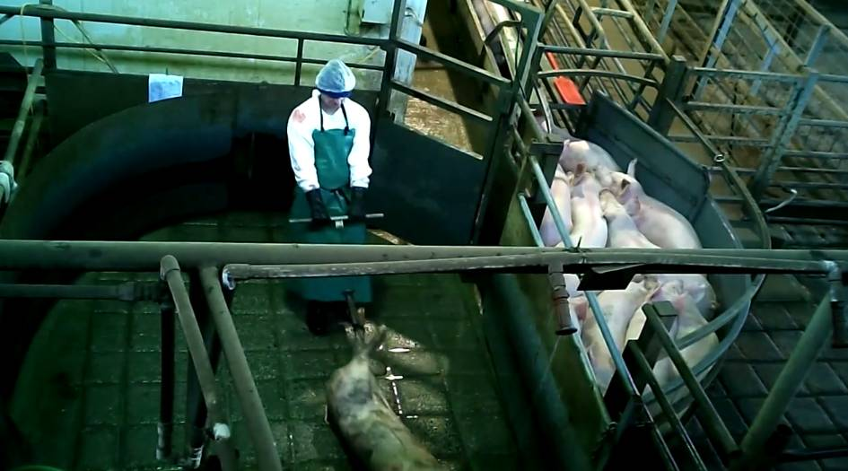 Animal rights group video 'pigs being tasered then gassed to death in small cages'