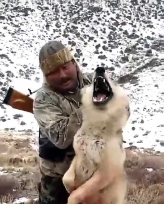 Pic shows: Moment a badly injured wolf is grabbed by a hunter and held up by his ears so that the man can get a decent photograph. This is the shocking moment when a badly injured wolf is grabbed by a hunter in Borat country in Kazakhstan and held up by his ears so that the man can get a decent photograph. In the footage which was shot in Eastern Kazakhstan, the blood from the bullet that struck the wolf can be seen staing the fur on its hind quarters. And despite its pain the wolf tries to bite the man, who nevertheless holds on to the dying animal before forcing it to the ground, and then apparently strangling it with his bare hands. The hunter was identifed as Erzhan Aga who is well known as being hunter specialised in tracking down and killing walls under licence from local authorities. He is pictured dressed in traditional clothes as he holds the wolf in the air before apparently killing it a short while later. There are estimated to be around 30,000 wolves living in Kazakhstan, and the population is not protected although hunters need to be licensed to shoot them. (ends)