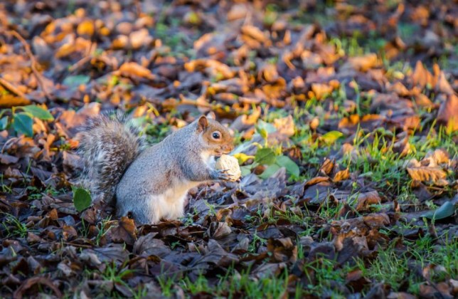 "MANDATORY CREDIT: David Zdanowicz/REX Shutterstock Mandatory Credit: Photo by David Zdanowicz/REX/Shutterstock (5501689c) A cheeky squirrel tucked into a mince pie this morning (23/12/15) in Low Moor Bradford, Britain Hungry squirrel eats mince pie, Britain - 23 Dec 2015 FULL COPY: http://www.rexfeatures.com/nanolink/rs6f A cheeky squirrel has been caught tucking into a mince pie in Low Moor, Bradford this morning. Photographer David Zdanowicz was out taking landscape shots, when he spotted the hungry squirrel. Dave said: ""I was out taking landscape shots when I noticed the cheeky squirrel tucking into a mince pie. I was on completely the wrong camera settings but managed to get a few shots before it run off. ""The squirrels know there is a lot of waste food in the park so they are always hanging about. I've even seen one with a full sandwich before."""