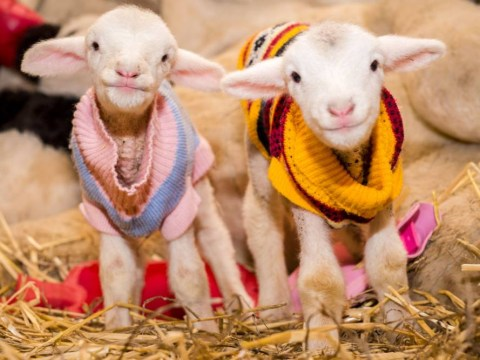 Rescue farm dresses lambs up in jumpers so they feel safe and warm
