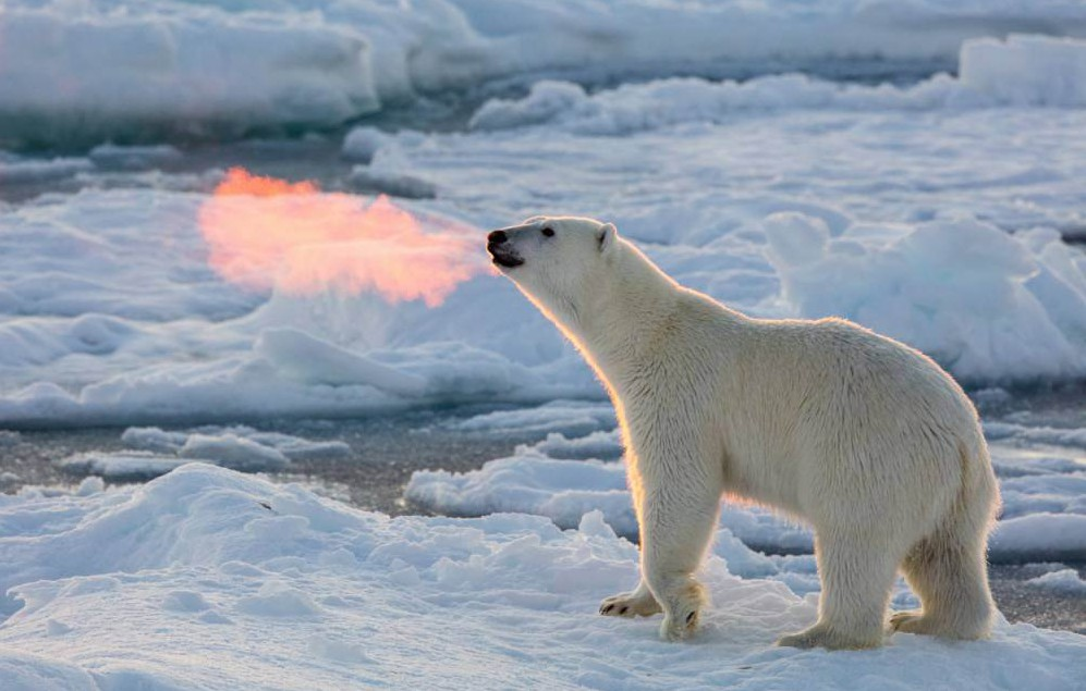 Pictured:  MAIN IMAGE:  The polar bears breath catches the light to look like it's breathing fire. A polar bear looks like he is breathing fire as his warm breath is lit perfectly by the setting sun.  Despite temperatures below zero, the predator's orangey breath - highlighted by the low sun - provides a little warmth to a freezing environment in the Arctic. Photographer Josh Anon was on a small boat 82 degrees north at the edge of the ice pack that defines the north pole region when he came across a bear with a fresh kill.  The 33-year-old, from San Francisco, California, USA, was only about 15m from the polar bear.  SEE OUR COPY FOR DETAILS. Please byline: Josh Anon/Solent News © Josh Anon/Solent News & Photo Agency UK +44 (0) 2380 458800