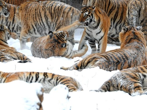 Just a whole bunch of Siberian tigers playing in the snow