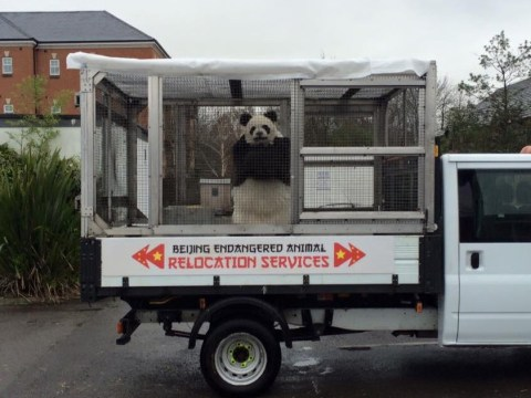 This panda prank is fooling no-one but kudos to the awesome costume
