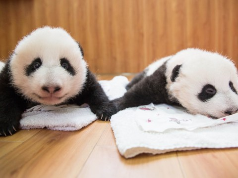7 pictures from Panda Babies that will make you wish you stayed in on New Year's Eve