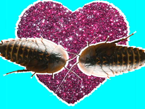 Only super buff cockroaches find mates – while the rest end up alone