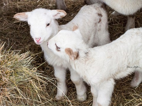 Volunteers are needed to cuddle adorable baby goats