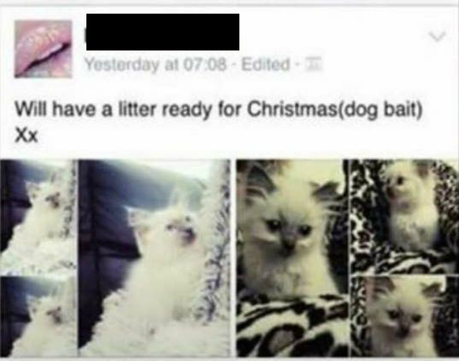 Kittens sold on Facebook as bait for fighting dogs – RSPCA