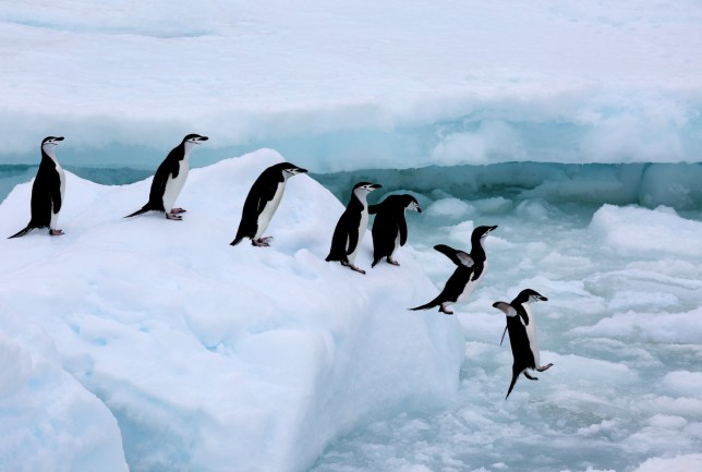 Just a few leaping penguins to cheer up a Wednesday Credit: Getty Images