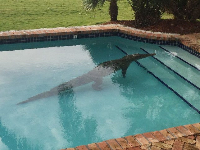 Crocodile pictured swimming in a Florida Keys swimming pool ...