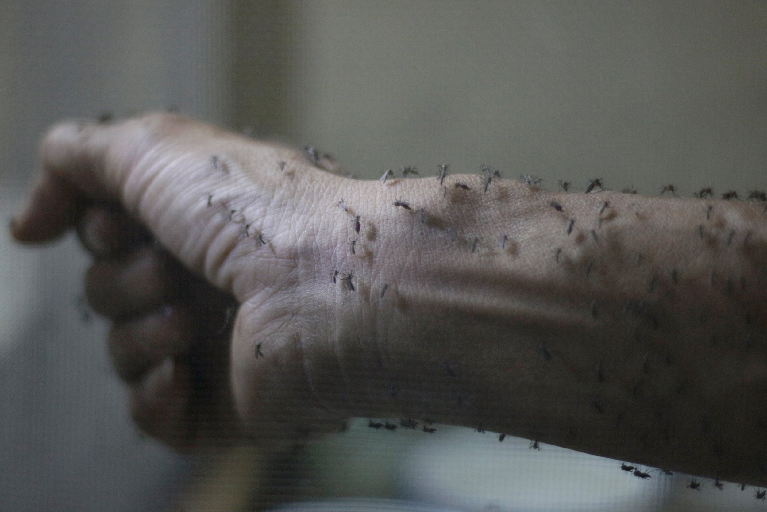 The forearm of a public health technician is seen covered with sterile female Aedes aegyti mosquitoes after leaving a recipient to cultivate larvae, in a research area to prevent the spread of Zika virus and other mosquito-borne diseases, at the entomology department of the Ministry of Public Health, in Guatemala City, January 26, 2016. REUTERS/Josue Decavele TPX IMAGES OF THE DAY