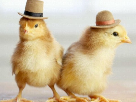 Just some fluffy chicks in hats, that is all