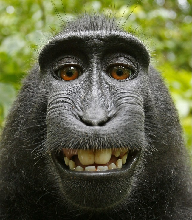 SULAWESI or CRESTED BLACK MACAQUE (Macaca nigra). Sulawesi, Indonesia. The photographer behind the famous monkey selfie picture is threatening to take legal action against Wikimedia after they refused to remove his picture because the monkey took it'. David Slater, from Coleford, Gloucestershire, was taking photos of macaques on the Indonesian island of Sulawesi in 2011 when the animals began to investigate his equipment. A black crested macaque appeared to be checking out its appearance in the lens and it wasn't long before it hijacked the camera and began snapping away. Caters