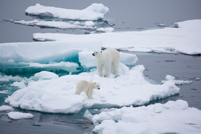 A polar bear mother and her cub near the North Pole (Picture: Getty Images)