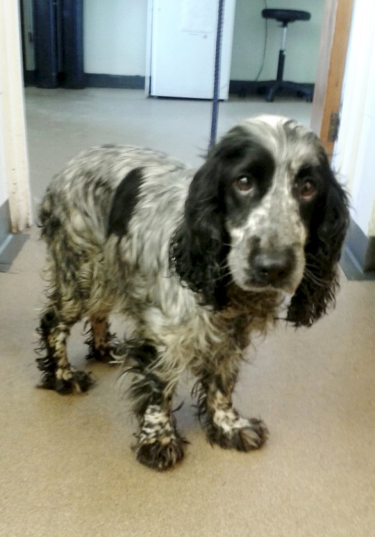 "A spaniel was found dumped by the roadside with ""tears in her eyes"" alongside her dead puppies which had been stuffed in a fish and chip carrier bag. See NTI story NTIDOG. Paul Skinner, 58, was cycling along a road at Hobhole Bank near Midville, Lincs, when he made the shocking discovery at around midday on Sunday (21/2). The mother refused to leave her puppies and was found licking the chip shop bag they were put into. Investigations are now taking place to try to identify the owner. It is not clear if the puppies were alive when they were dumped."