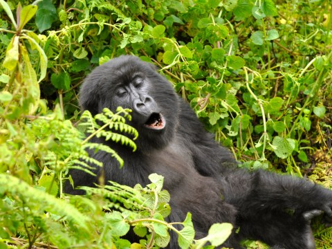 Wild gorillas compose songs and sing while they eat, scientists claim