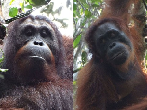 No one is safe: Even orangutans are cold-blooded murderers now