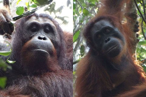 First cold-blooded murder observed in orangutan community at