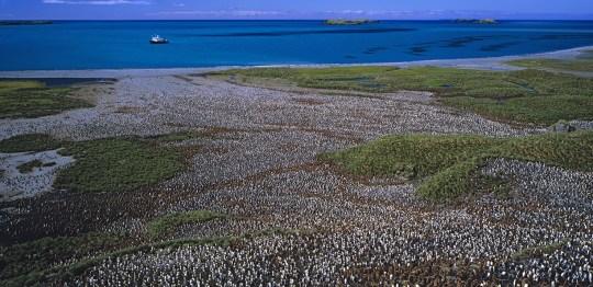 A lot of penguins. King Penguins Credit: Auscape/ Getty Images