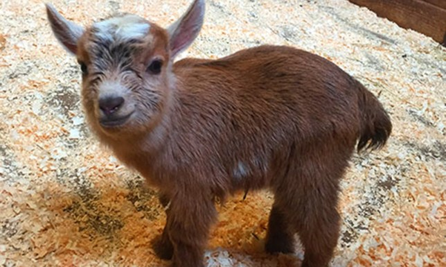 Nigerian dwarf goat born at Franklin Park Zoo