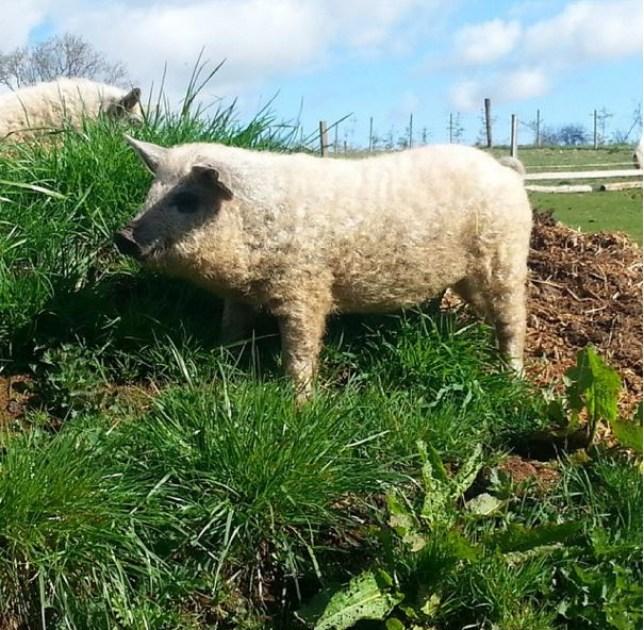 pig sheep