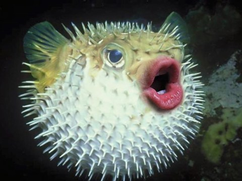 People are photoshopping Donald Trump's lips on to puffer fish