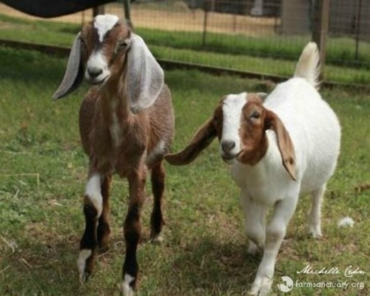maurice and marcia by michelle cehn for farm sanctuary.jpg