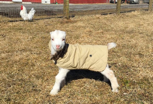 CREDIT: Woodstock Farm Sanctuary/Rex Shutterstock Mandatory Credit: Photo by Woodstock Farm Sanctuary/REX/Shutterstock (5613494a) Little goat Atticus seemingly smiling as he enjoys his jacket Little goat loves its jacket, Woodstock, New York, America - 14 Mar 2016 FULL COPY: http://www.rexfeatures.com/nanolink/s42n A baby goat saved from the butchers poses for these charming pictures in his new coat. Atticus was unborn when his mother was one of 200 animals rescued from a backyard butcher in New York's Hudson Valley. The rescuees taken in by the Woodstock Farm Sanctuary included five severely neglected and pregnant mother goats and a sheep. Because of their previous neglect, the pregnancies have all been high risk, and two goat mothers were lost, one along with her triplets. A set of goat twins was born on 19 February. As it was the day that the novelist Harper Lee passed, the babies were named Harper and Atticus.
