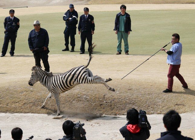 An animal doctor uses a tranquilizer dart to capture an zebra on a golf course in Toki, Gifu prefecture, central Japan Wednesday, March 23, 2016. The zebra that was on the loose on a Japanese golf course for hours has died after it was chased around by a dozen men including police officers, likely drowning after being shot by tranquilizer dart and plunging into a lake. (Naoya Osato/Kyodo News via AP) JAPAN OUT, MANDATORY CREDIT