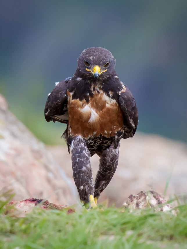 PIC BY CLINT RALPH / CATERS NEWS - (PICTURED: A hench hawk who clearly didnt skip leg day.) - They say youre not yourself when youre hungry and judging by this picture it looks like the same can be said for birds too. This is the funny moment a rather hench-looking hawk appeared to march like a human in search of food. The bizarre picture shows the bird, a jackal hawk, standing upright and determinedly marching towards a carcass. The clearly h-angry bird stomped over to a flock of birds feeding on the carcass and chased them away before tucking in. SEE CATERS COPY.