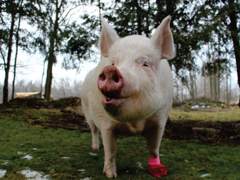 Esther the not-so-micro pig inspires couple to go vegan and open animal sanctuary