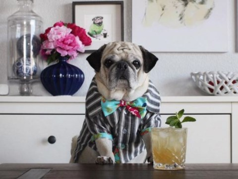 Rocco the pug bartender is here for you when you've had a ruff day