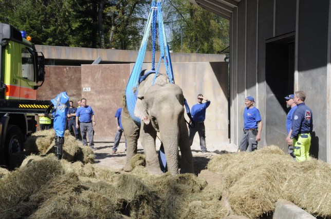 Elephant hoisted by crane Credit: Zurich Zoo, Robert Zingg