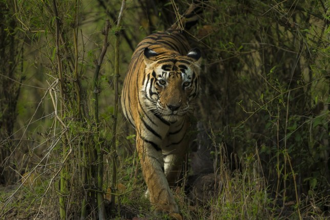 Pic by HotSpot Media - TIGER WITH 'CAT' MARKINGS ON FOREHEAD IS A CELEBRITY - IN PIC - Munna the Bengal tiger walks through the jungle in the Kanha National Park, India in April 2015. - A Bengal tiger could be the most photographed big cat in India thanks to its unique facial markings that spell the word 'CAT'. The 14-year-old male tiger, named Munna, was born with black, letter-shaped markings on his forehead. Every year thousands of photographers and tourists flock to see Munna at Kanha National Park in Madhya Pradesh, India. Indian photographer Sarosh Lodhi has been lucky enough to catch a glimpse of the famous tiger on several occasions...SEE HOTSPOT MEDIA COPY 0121 551 1004