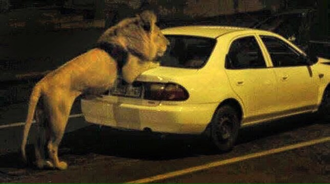 PIC FROM CATERS NEWS: (PICTURED: Columbus, the lion, resting on the boot of a car.) - Please paws when you reach the lights! While they usually roam the plains of Africa, it appeared that one lion wanted to take a city break. The wild cat was spotted strolling through the streets of Johannesburg, South Africa, and although it was a disconcerting sight, locals were swiftly reassured the situation was under control. The lion, named Columbus, was in fact starring in a local film production and had been borrowed from a nearby lion park, although the film company failed to notify the authorities. According to the Johannesburg Roads Agency, the filming had not been cleared and the film company took a risk by releasing the lion into the city, without previously getting approval to close several roads. SEE CATERS COPY.
