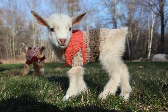 3 Newborn Goats Get Tiny Hand-Knit Sweaters To Stay Warm