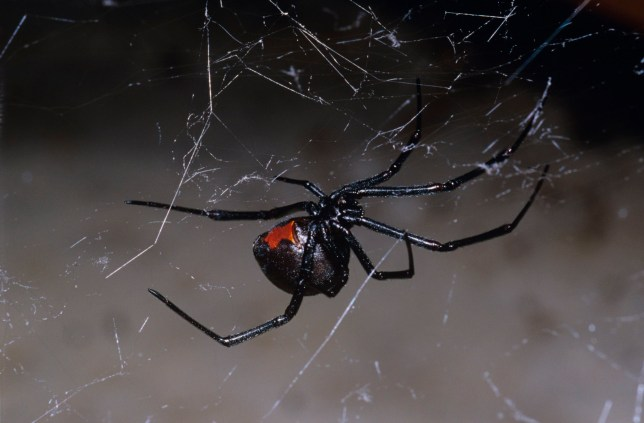 Redback spider (Latrodectus hasselti), in a garage. Canberra, Australian Capital Territory. (Photo by Auscape/UIG via Getty Images)