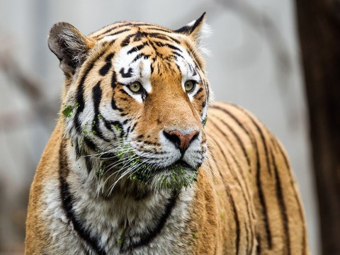 Everyone thought tigers might be extinct by 2022 but something awesome is happening