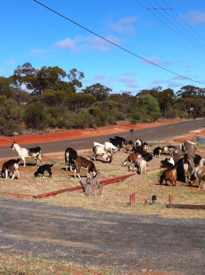 The people of this town are under attack from hundreds of wild goats