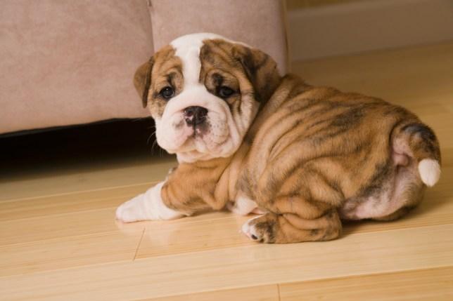 English Bulldog puppy stretching