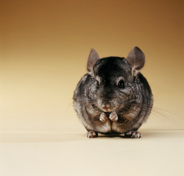 Guy asked girlfriend to get rid of pet chinchilla, so she