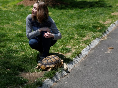This woman gets paid to walk a 16-year-old tortoise