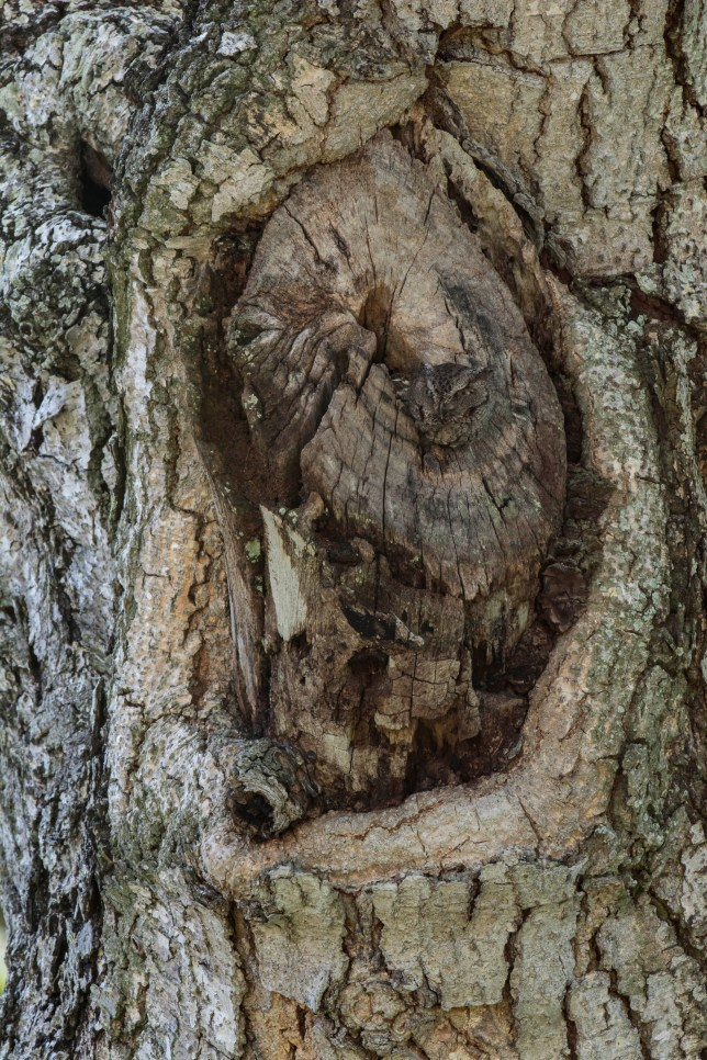PIC BY LARRY LYNCH/ CATERS NEWS - (PICTURED: The hidden owl) - Camowlflage! At first glance this picture doesnt seem to show much but take a closer look and youll see one of natures masters of disguise at work. With its feathers blending seamlessly into the bark of a tree this Eastern Screech Owl is almost impossible to spot. But sharp eyed photographer Larry Lynch was lucky enough to capture the owl as it disguised itself in a tree close to his home in Florida. Larry, 50 said: I felt very excited and relieved that the image turned out so well. SEE CATERS COPY.