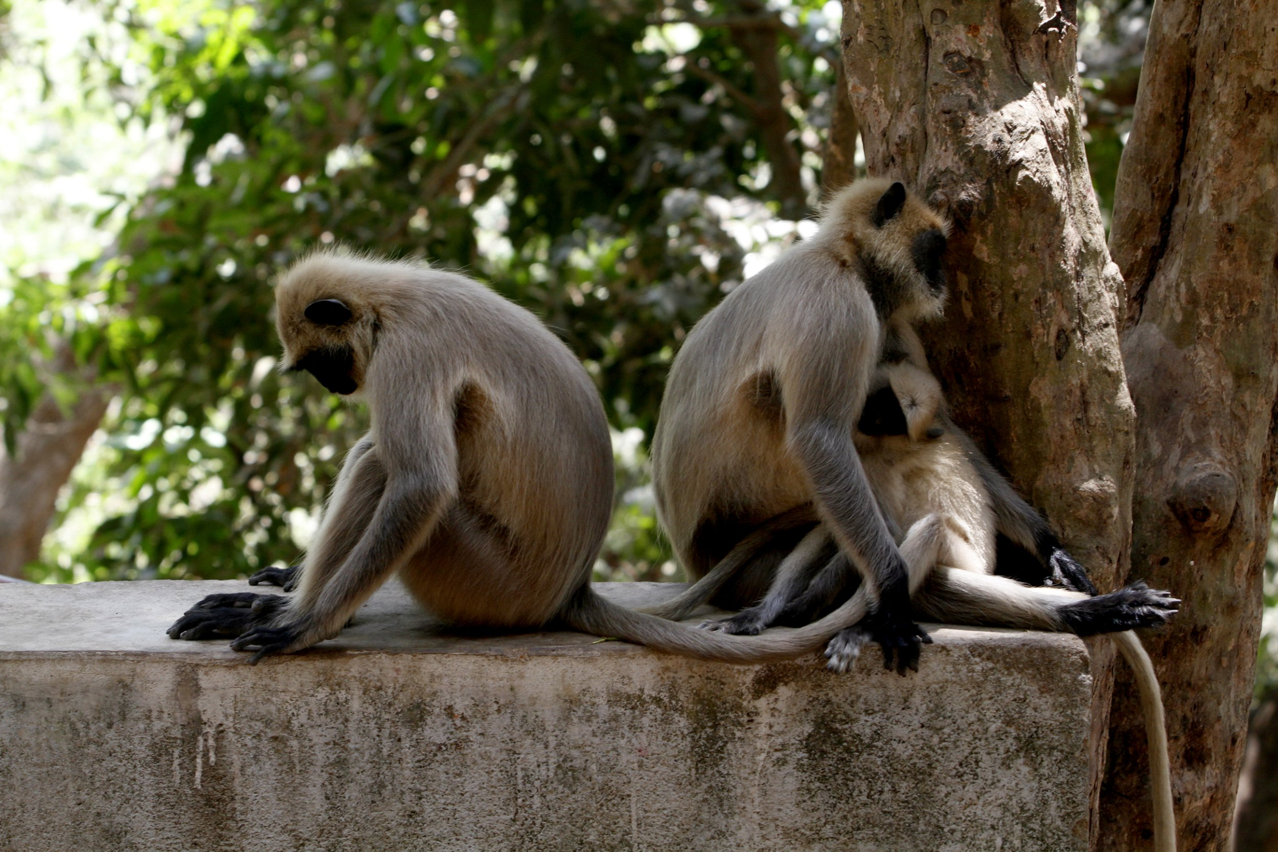 Wild monkeys naps in the branch of a tree and the shadow of trees to beat the heat at the Khandagiri cave hills in todays hot afternoon in the eastern Indian city Bhubaneswar, India, Monday, 25 April 2016.n (Photo by Biswaranjan Rout/NurPhoto via Getty Images)