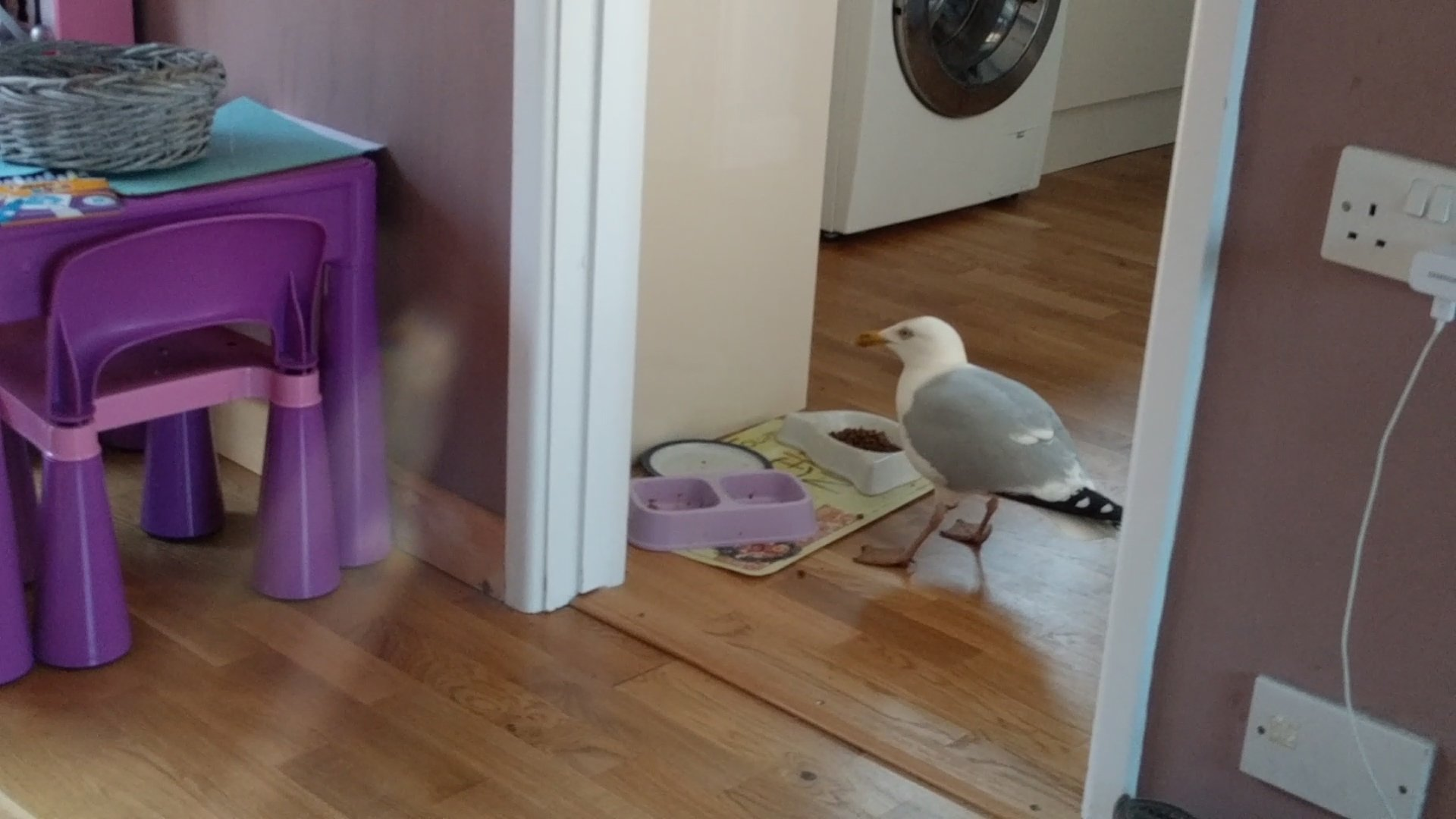 This cheeky seagull has been wandering through a family home six times a day - to steal CAT biscuits. See SWNS story SWGULL; The bird - nicknamed Beakie - was a constant feature at the home of Andrew and Jacqui Merrington last summer but has returned in recent weeks more confident than ever. It regularly 'knocks' on the patio door with it beak demanding to be let in. And after the doors were left open in the recent spell of hot weather, the cocky gull has gone one step further by coming into the house to help itself to cat biscuits.