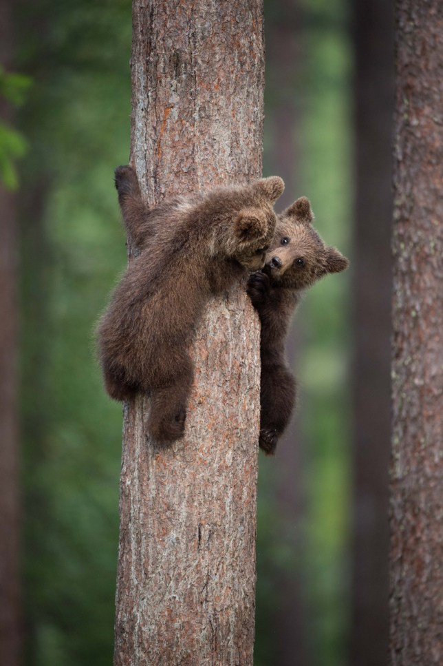 KAINUU, FINLAND: THE CUTEST little bear family have been snapped enjoying a day in the woods by a British photographer. Pictures show mummy bear watching over her two little curious cubs have a go at climbing trees. Mummy bear can even be seen joining in and showing the babies how itís done. Other pictures show the cuddly cuties play fighting, having a sibling embrace and just chilling out, taking a break from activities. Photographer Janette Hill from Llanigon, Herefordshire travelled to the heart of the Taiga Forest in Finland to catch a glimpse of these wild brown bears in their natural habitat.