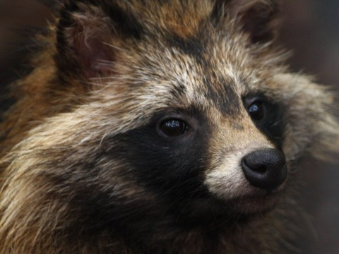 These adorable raccoon dogs are being culled in Sweden